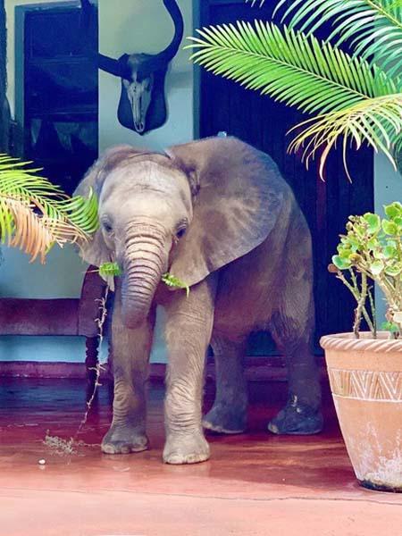 Der Elefantenbulle Kura